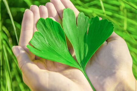 The healing leaf of ginkgo biloba or ginko in the hands of young women. View from above. Standard-Bild