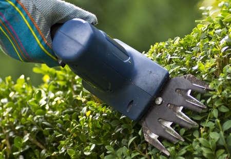 hedge clippers: Cutting boxwood hedge with a small motorized trimmer  Stock Photo