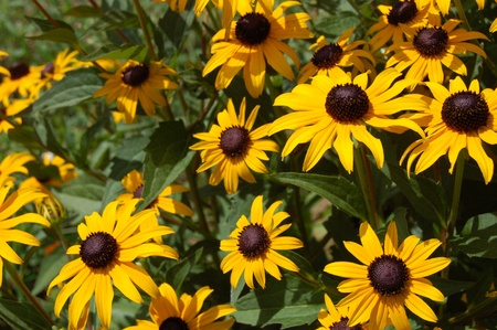 Rudbeckia  yellow flowers photo