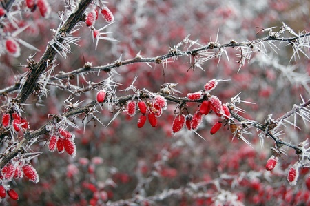 Red berries covered with frost photo