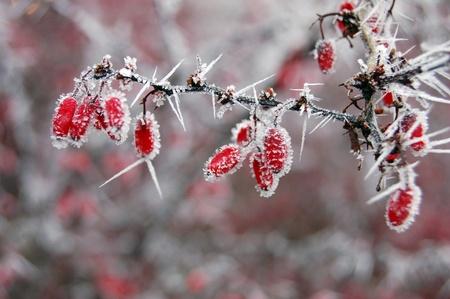 Rote Beeren mit Frost bedeckt