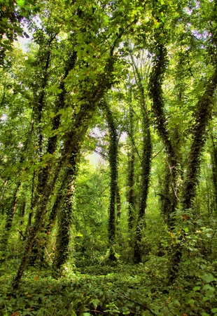 deep roots: Virgin Forest, trees with ivy Stock Photo