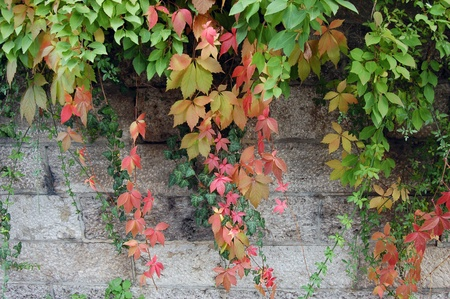 Historic Wall with autumnal colored Vine photo