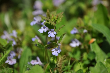 Closeup of Glechoma hederacea photo