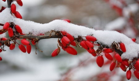 rote: Japanese barberry in winter covered with snow