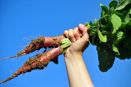 sufficiency: raise your radish Stock Photo
