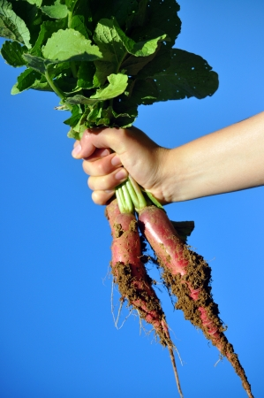 sufficiency:  fresh radish in hand against sky