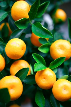signify: Little kumquat oranges. Found mainly sold during the Chinese New Year as a traditional decorative plants that symbolizes prosperity. Stock Photo