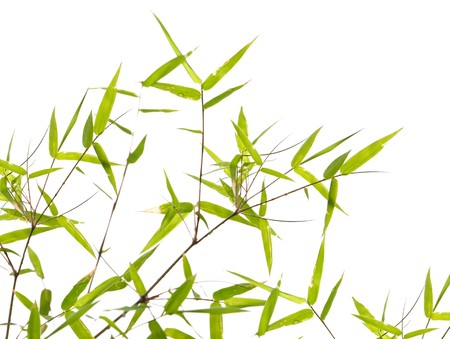 Japanese bamboo leaves on thin twigs isolated on white Stock Photo - 4522319