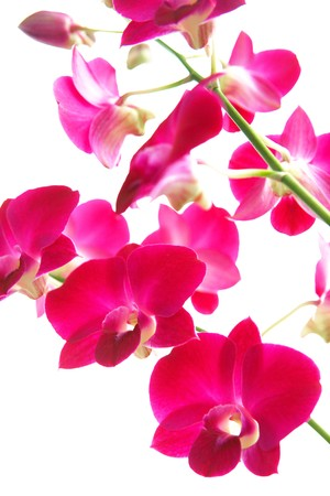 Closeup of magenta oriental orchids, isolated Stock Photo - 4522320