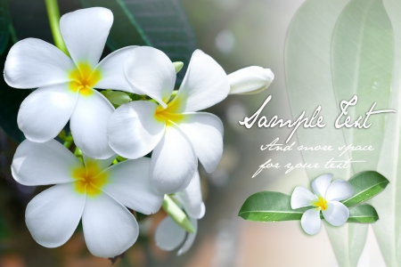 feminine background: Background of the sweet smelling frangipani flower with space for text