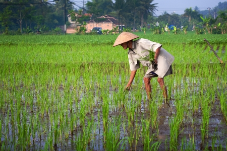 JOGJAKARTA INDONESIA 15th MAY. Old farmer tending to his young paddy seedling in the paddy field, 15th May 2010 Jogjakarta, Indonesia.