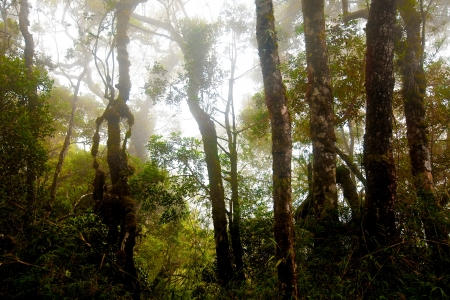 kinabalu: Misty mountain forest of Mount Kinabalu, Malaysia in North Borneo.