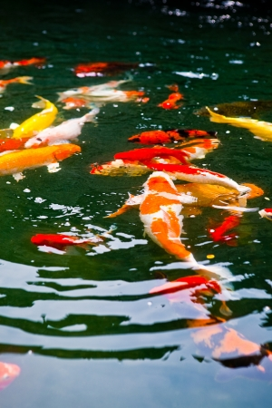 Beautiful Japanese koi carp in a tropical pond photo