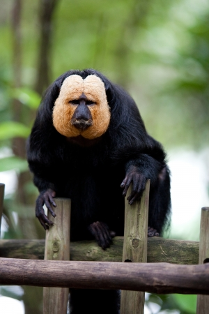 saki: White-faced Saki Monkey or Golden Face Saki in a zoo enclosure resting on wooden fence