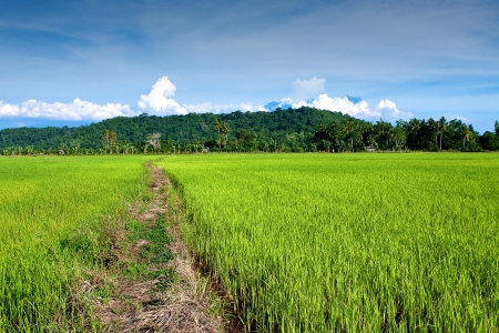 golden field: Golden field of young paddy against the mountaineous range of Mount Kinabalu, Sabah Malaysia.
