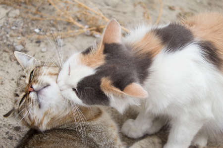 Two cats loving each other, Cleaning by licking hair. Stock fotó