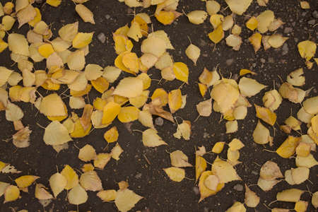 autumn leaves on the ground, birch leaves Stock fotó