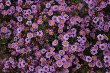 Very beautiful chrysanthemums, purple bud for the holiday, in hot summer weather