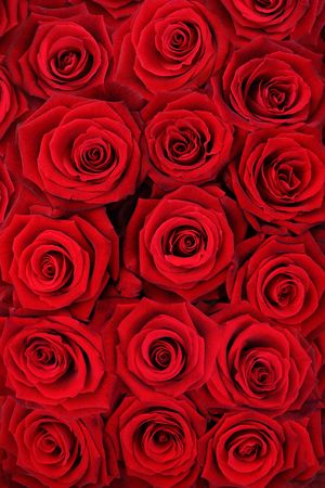 Background made of red roses. photo