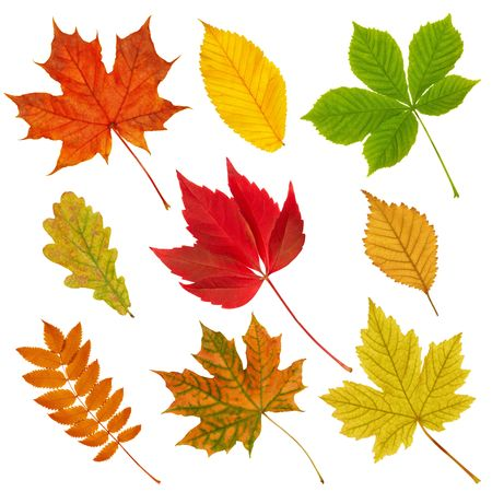 Various autumn leaves isolated on the white background. Stock Photo