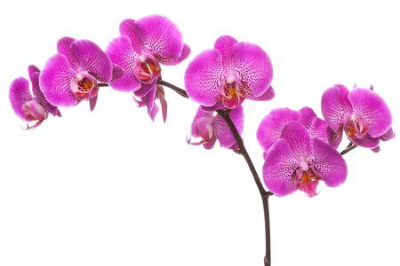 Zweig der rosa blühenden Orchidee, auf dem weißen Hintergrund isoliert.