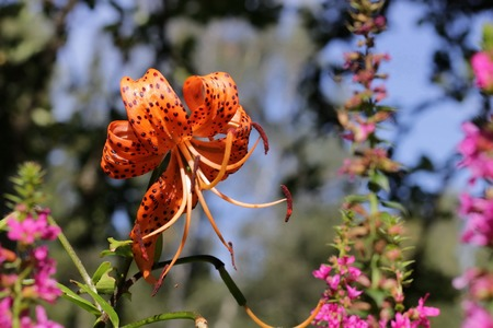 taint: A macro close up of a beautiful Tiger lily in the sunshine