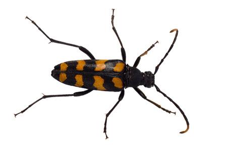 Longhorn beetle Leptura quadrifasciata on the white background