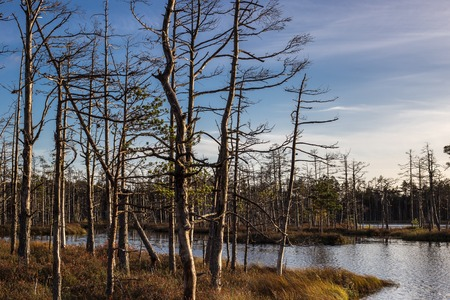 Swamp at sunset in Latvia. Apocalyptic feeling hiking on a wooden trail through the bog with dark clouds.