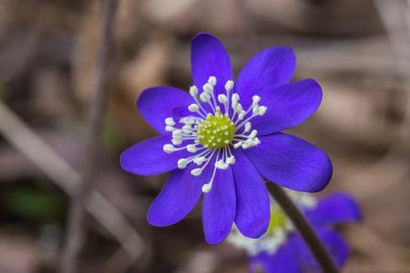 Close up single blue liverwort or kidneywort flower