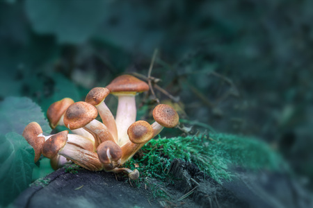 Magic Mushroom Archivbilder. Eine Gruppe magischer Pilze. Standard-Bild
