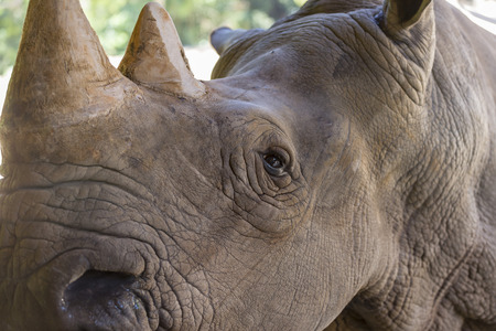 A close up photo of an endangered white rhino, rhinoceros face,horn and eye.