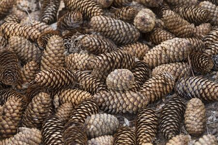 Fir tree cones background - conceptual of the christmas season