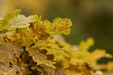 Beautiful autumn oak leaves background.