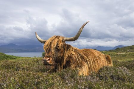 A Scottish Highland Cow covered landscape in the highlands of Scotland Archivio Fotografico