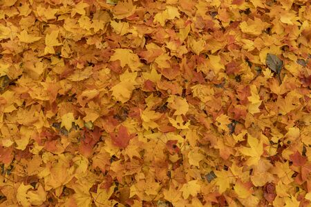 Beautiful autumn maple leaves background.