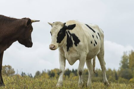 Black and white cows come close to yellow autumn colors in green grassy meadowunder blue sky on sunny day