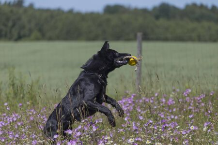 Black german shepherd is running on a field with blossoming meadow Archivio Fotografico - 137783358