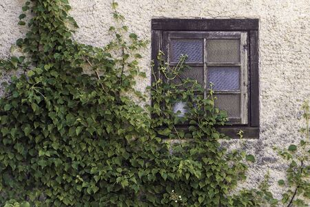 Romantic view to old window with a green climber plant, wooden window Archivio Fotografico - 137783361