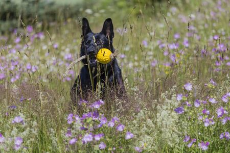 Black german shepherd is running on a field with blossoming meadow Archivio Fotografico - 138065332