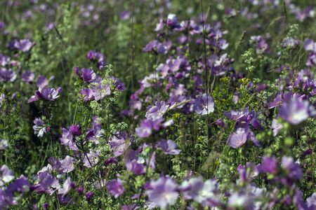 Malva sylvestris is a species of the mallow in the family of Malvaceae