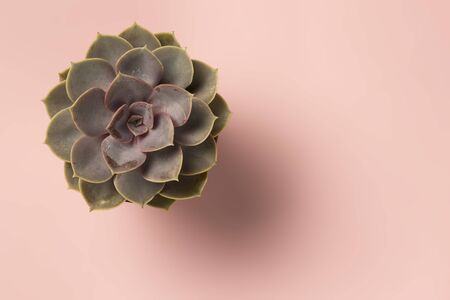 Beautiful pattern of green succulent isolated on pink background. Flat lay, Archivio Fotografico