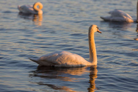 Beautiful wild swan Cygnus in warm sunset light Archivio Fotografico