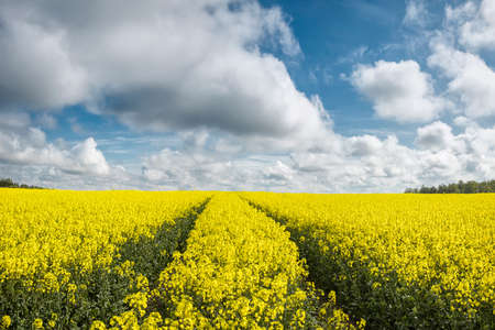Yellow rapes flowers and blue sky with clouds. Beauty world.