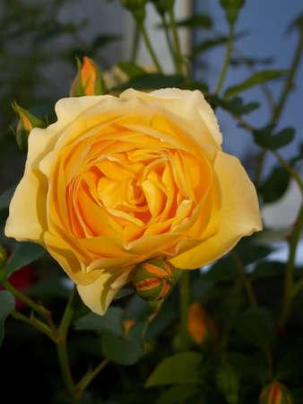 rose bud: Bocciolo di rosa  Archivio Fotografico
