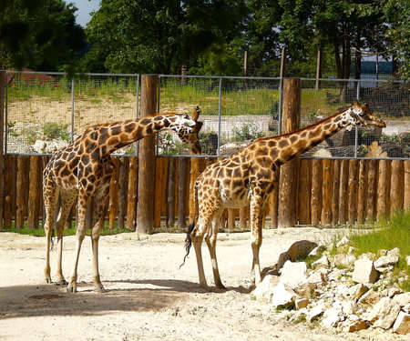 girafe: Girafe. Stock Photo