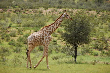 Giraffe in the Kgalagadi Transfrontier Park, South Africa