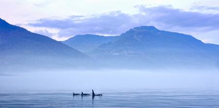 groep van moordenaar walvissen of orka's in landschap, Orcinus orca, Johnstone Straat, Vancouver Island, British Columbia, Canada Stockfoto