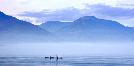 group of killer whales or Orcas in landscape, Orcinus orca, Johnstone Strait, Vancouver Island, British Columbia, Canada