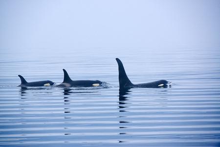 Orca o Orca, Orcinus orca, estrecho de Johnstone, archipiélago de Broughton, isla de Vancouver, Columbia Británica, Canadá Foto de archivo - 73079384